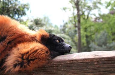 Red ruffed lemur by FlitsArt