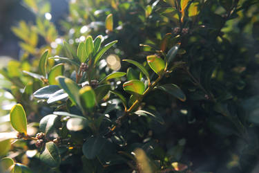 Buxus by FlitsArt