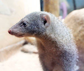 Mongoose Portrait by FlitsArt
