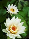 Lotus 2 by ayasuno