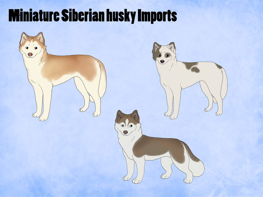 Bevorzugt Miniature Siberian husky Imports for Kaiz and Rain by xMush  EA15