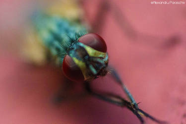The portrait of a fly by AlecsPS