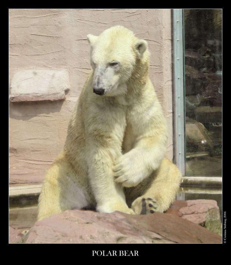 Polar Bear by ChaosCurry