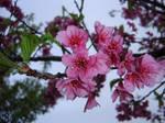 sakura - close