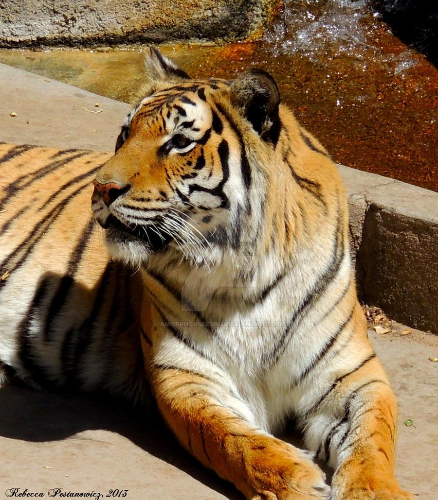 Tiger closeup by amorphousdebris
