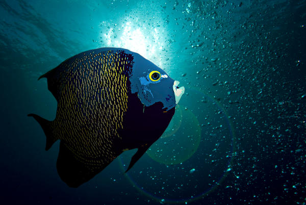 french angelfish drawing