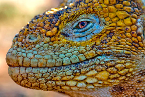 galapagos iguanas coloring pages - photo#37