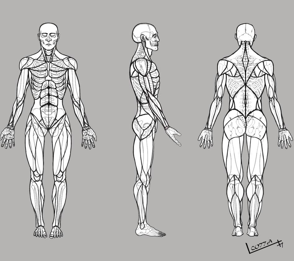 Perfecto Ovejas Anatomía Muscular Friso - iPad Contest