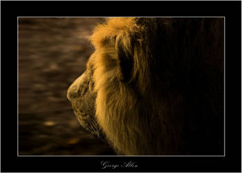 Running lion by Allegoria-Images