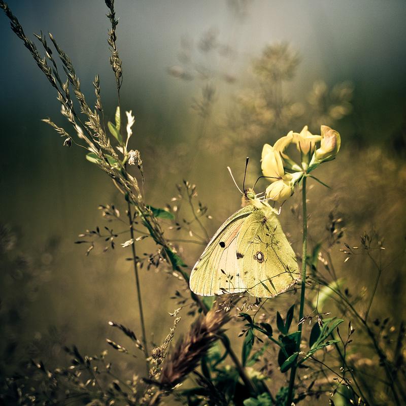 Limoncello by Sblourg