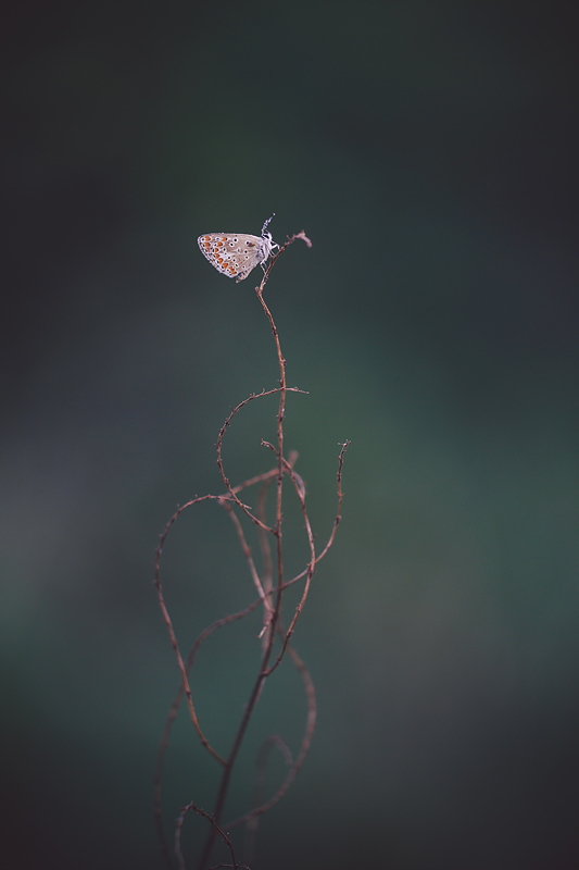 Butterfly-236 by Sblourg