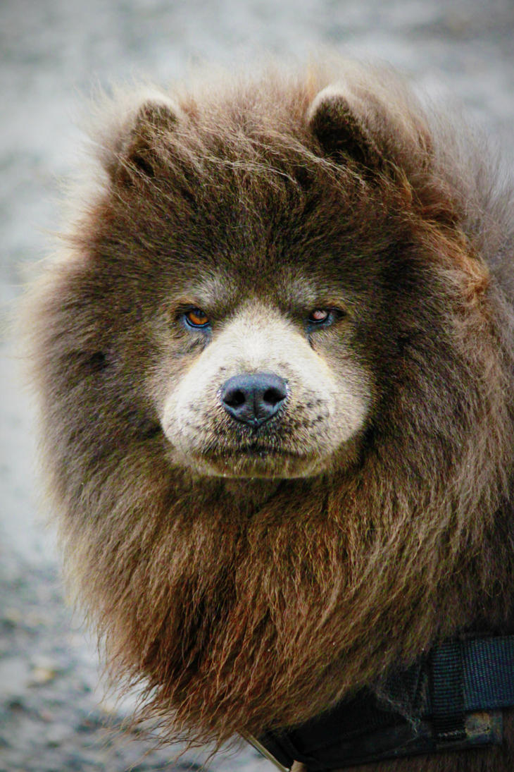 Lion Dog Breed Name