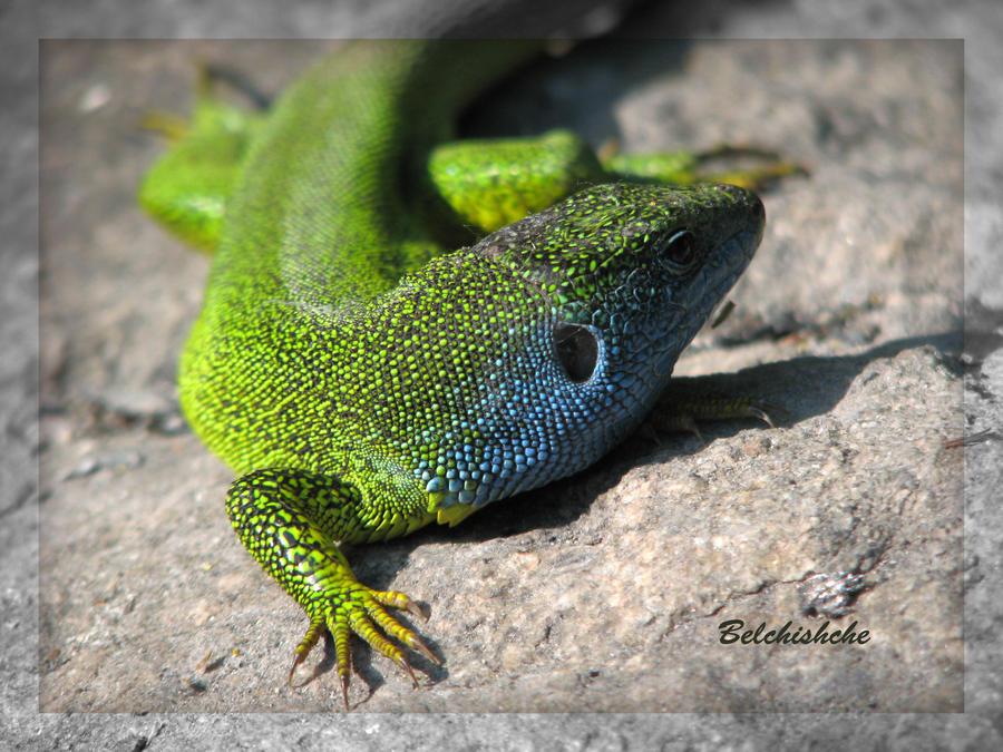 Lizard's Ear by Belchishche