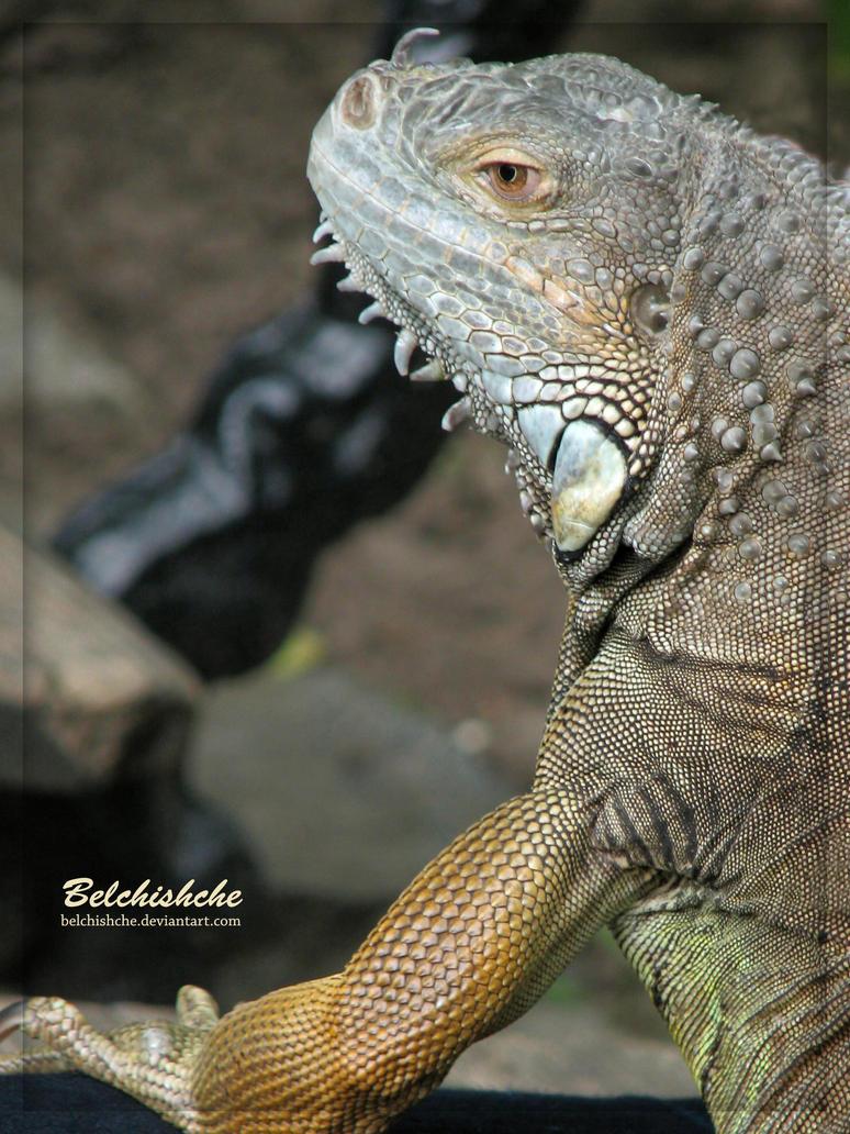 Iguana by Belchishche