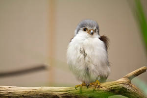 Puffy Falcon by blepfo