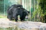 Walking Sloth Bear by blepfo
