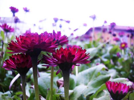 Fade-Fast Flower I