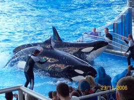 killer whales by tavybear