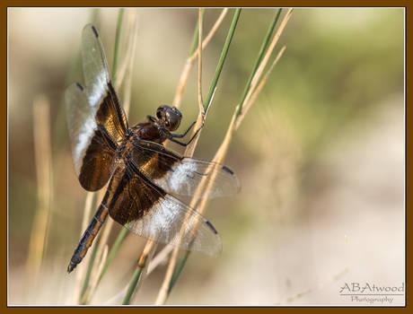 Shelburne Vt Bay DragonFly Widow Skimmer