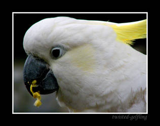 Beautiful Cockatoo by twisted-gelfling