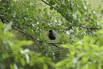 I No Witcher But I Care Moorhen by Dowlphin