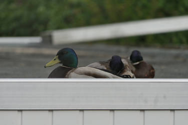 DRAKES!!! Better Duck!