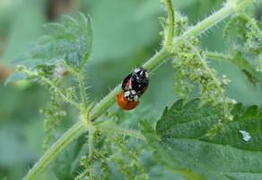 Unequal Ladybug Couple
