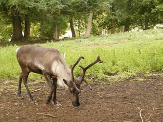 Reindeer by Cherry-Tree-Stock