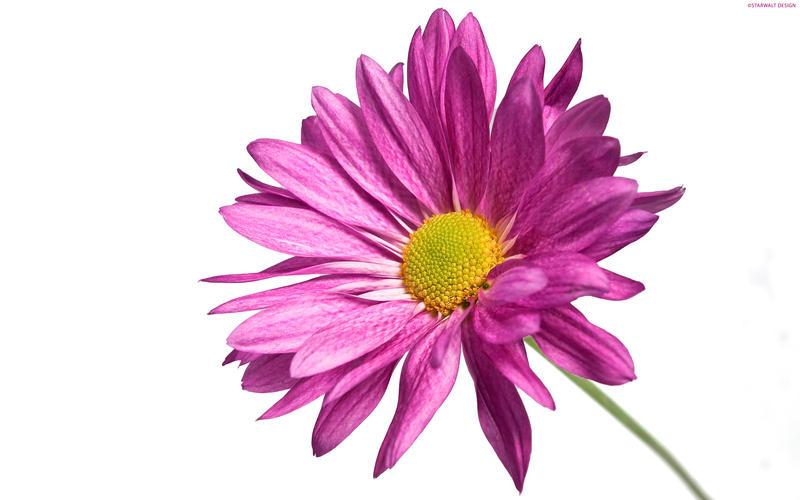 Single Flower by StarwaltDesign