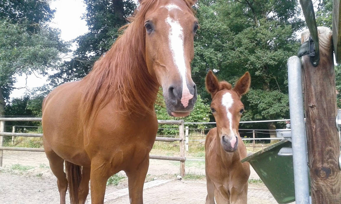 Arabian - Berber Mare with Foal