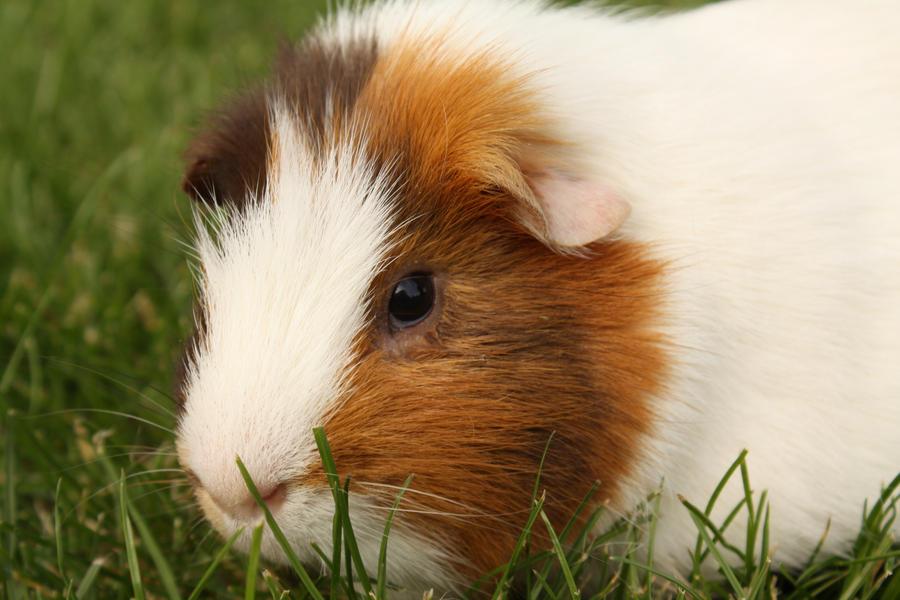 Worlds cutest piglet - photo#51