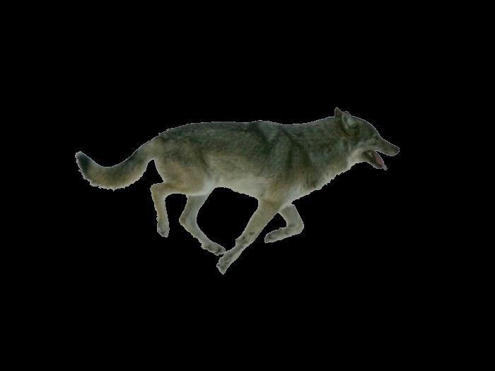 running wolf by elevation-world