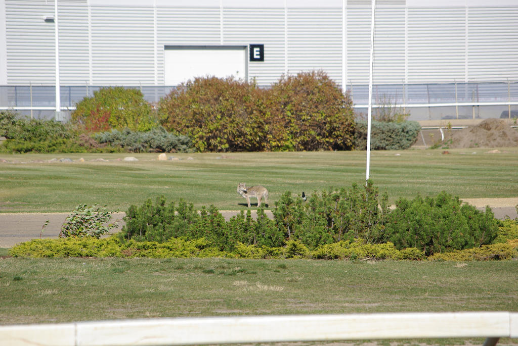 Coyote At The Race Track by CJayS