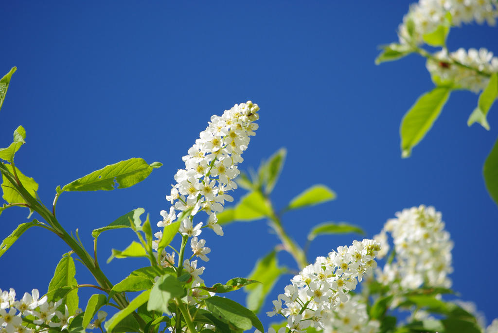 White Lilacs Against the Blue Sky by CJayS