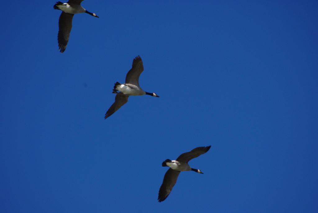 Canada Geese in Flight by CJayS