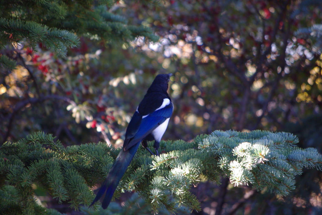 Magpie by CJayS