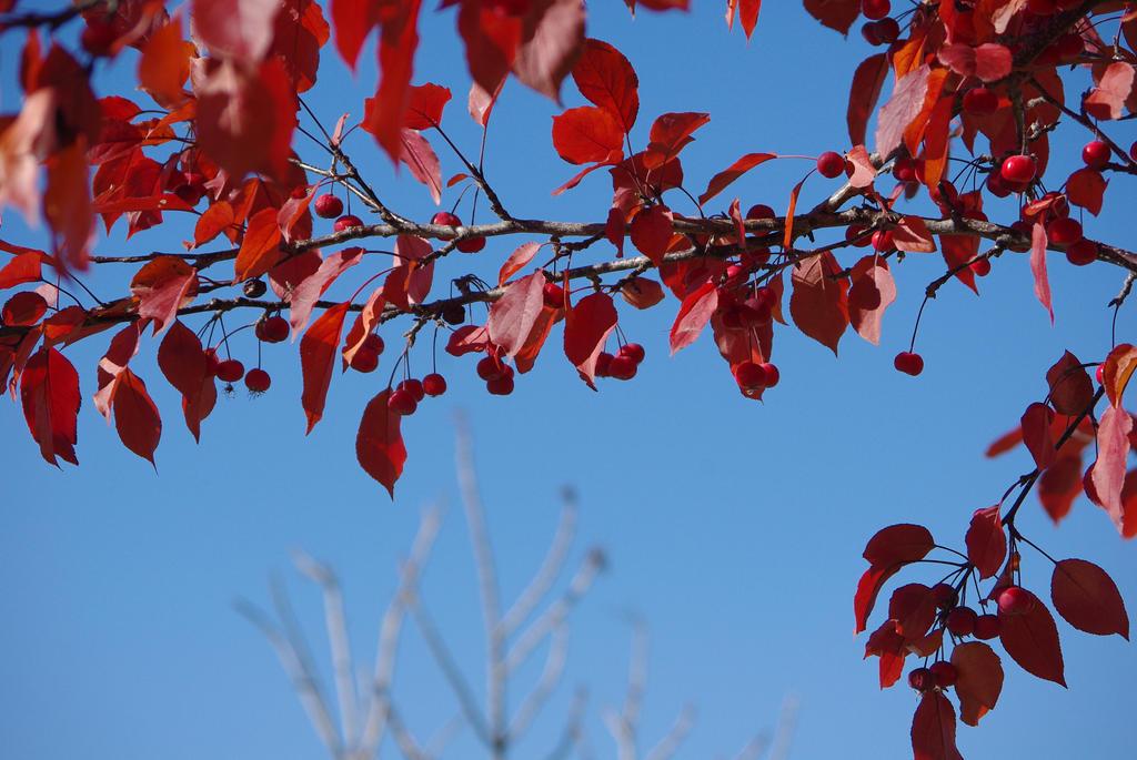 Ornamental Crabapple Tree in Fall by CJayS