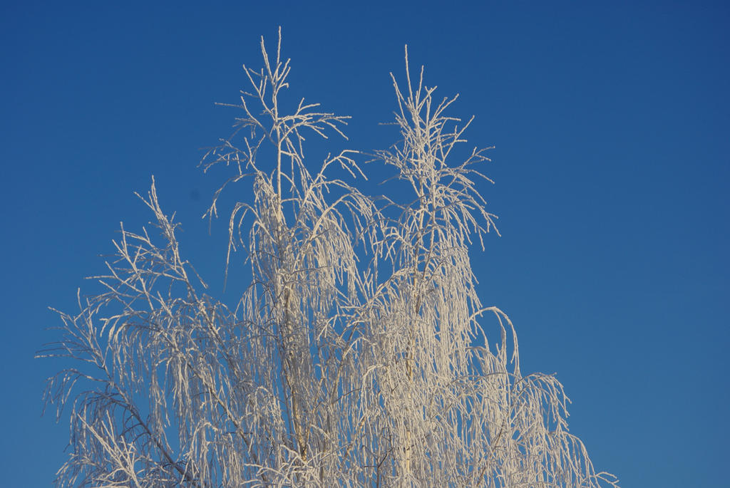 Frosted Tree by CJayS