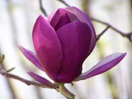 Purple Magnolia 2 by NyanaeveStock