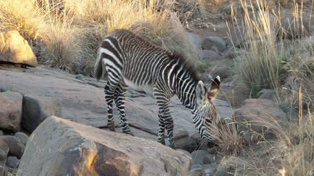 Mini Zebra by Thaylien
