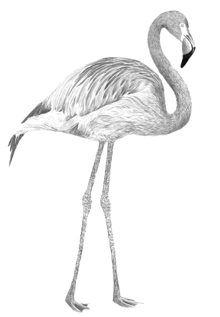 Pink Flamingo Drawing By SunshineLvr On DeviantArt