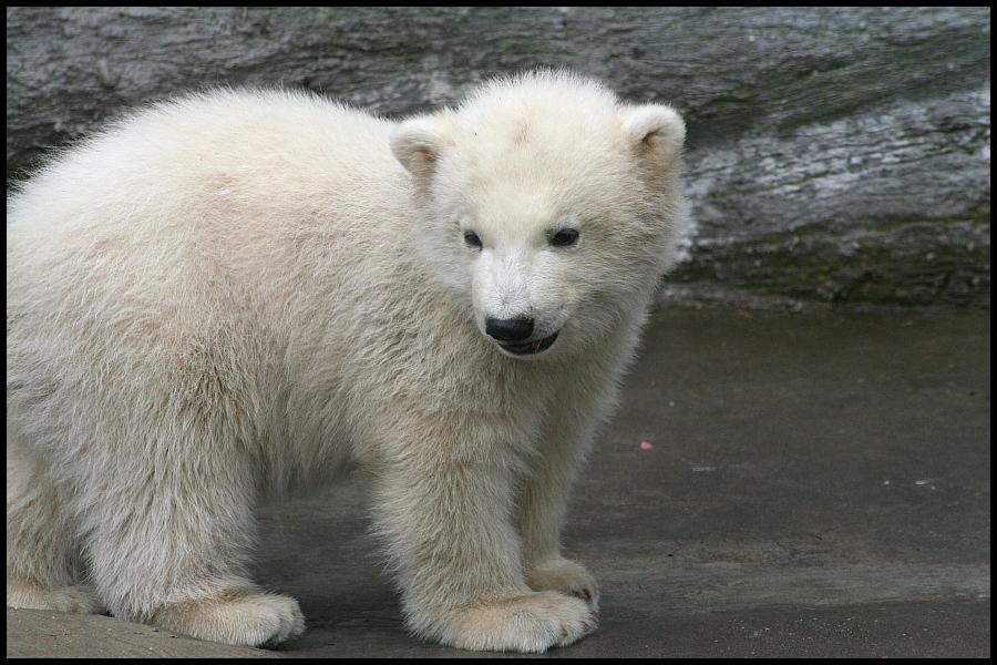 Baby polar bears again III by AF--Photography