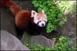 Red panda walking around