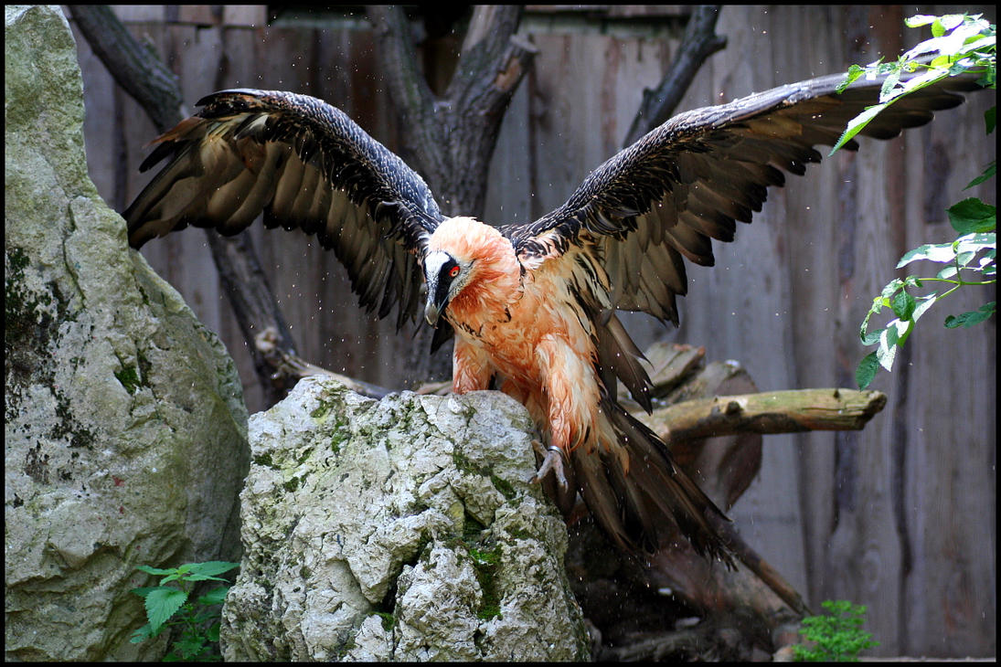 Red Bearded Vulture Size