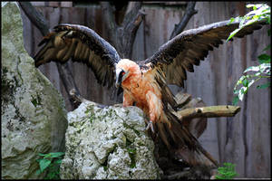 Bearded Vulture by AF--Photography