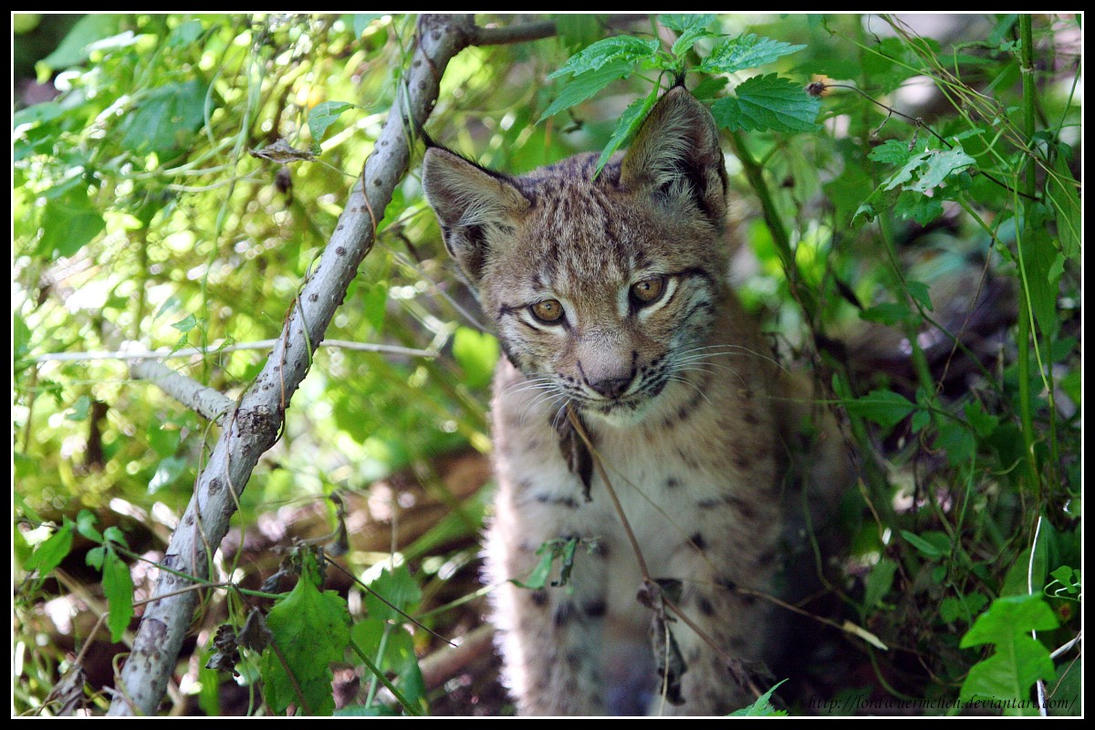 Baby lynx I by AF--Photography