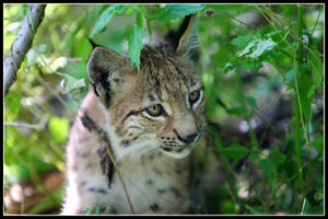Baby lynx II by AF--Photography
