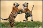 Dancing Tiger Cubs
