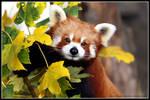 Red panda portrait II