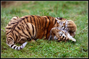 Tender fight by AF--Photography